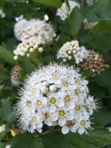 flowering tree white