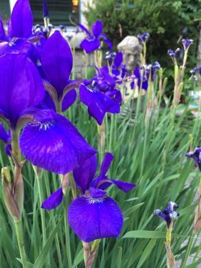 purple flowers st francis